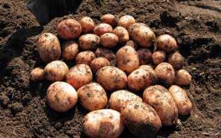 Картофель Аврора: описание и характеристика сорта, посадка и уход, борьба с вредителями