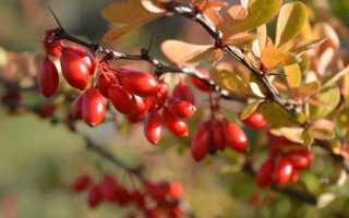 Барбарис: когда собирать ягоды, полезные свойства и противопоказания — Популярно о здоровье
