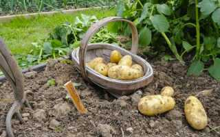 Когда выкапывать картофель на хранение по лунному календарю 2018 года, как влияет Луна и знаки зодиака на сбор картофеля