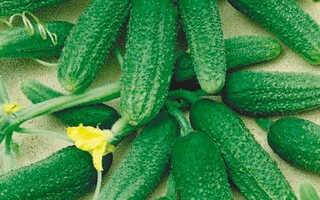 Лучшие партенокарпические и пчелоопыляемые сорта и гибриды огурцов для теплиц и открытого грунта