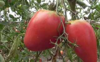 Томат — Мазарини: характеристика и описание сорта, отзывы, фото, урожайность