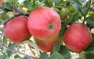 Яблоня лигол: описание сорта с фото и видео
