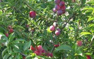 Сорт сливы Маньчжурская красавица: фото, отзывы, описание, характеристики