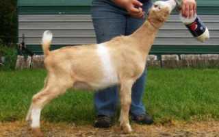 Описание породы коз ламанча