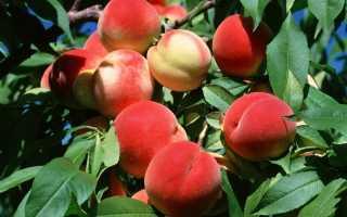 Обрезка персика осенью: схема, инструкция, видео для начинающих