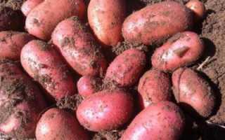 Картофель ред леди: описание сорта, фото, отзывы об урожайности