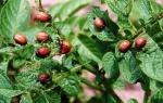Клотиамет от колорадского жука: отзывы