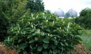 Лаконос ягодный: лечебные свойства и противопоказания