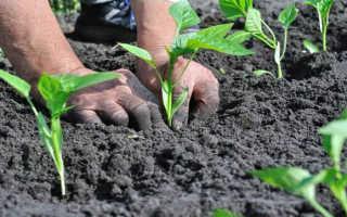Посадка перца в грунт рассадой: когда и как сажать, уход после высадки