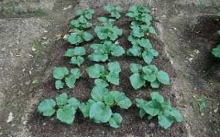 Сорта огурцов для открытого грунта, в том числе кустовые и холодостойкие: виды и характеристики, отзывы