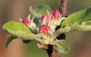 Прививка яблонь весной для начинающих: инструкция и видео