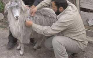 Породы коз: молочные, мясные, шерстяные и пуховые