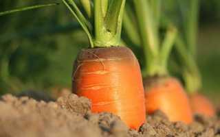 Когда сеять морковь в открытый грунт в 2019 году по лунному календарю
