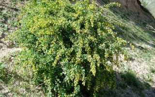 Барбарис цельнокрайний (Berberis integerrima): описание, фото