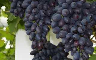 Виноград кодрянка: описание сорта, достоинства и недостатки