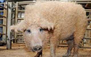Мангалица венгерская (порода свиней) — описание, фото, отзывы