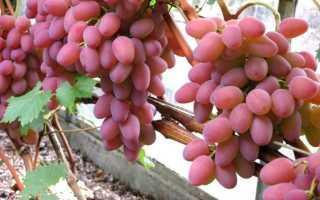 Виноград Оригинал: описание сортов розовый и черный, достоинства