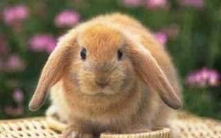 Декоративный вислоухий баран кролик: фото, цена, уход