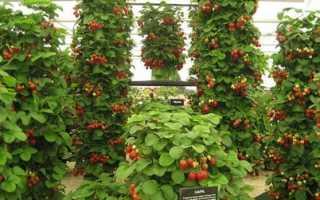 Вьющаяся клубника: уход и особенности выращивания, как посадить, агротехника