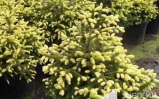 Ель восточная «Голден старт» (Picea orientalis «Golden Start») — купить в СПб с доставкой