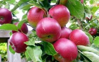 Зимние сорта яблонь: фото с названиями