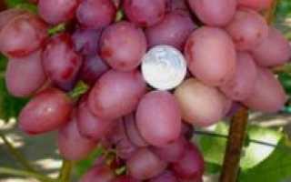 Виноград София: описание столового сорта винограда, уход и выращивание