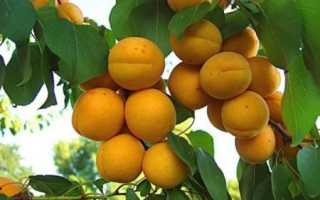 Абрикос — Погремок — (12 фото): описание сорта и высота дерева, на какой год плодоносит при посадке в Подмосковье, отзывы