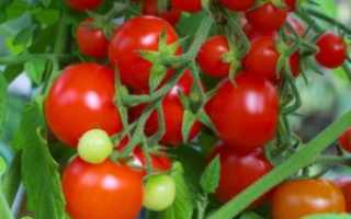 Томат Вова Путин: характеристика и описание сорта, урожайность с фото