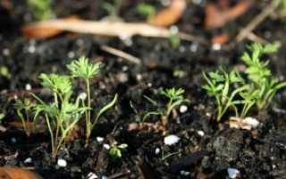Как сажать морковь в гранулах в открытый грунт: пошаговая видеоинструкция