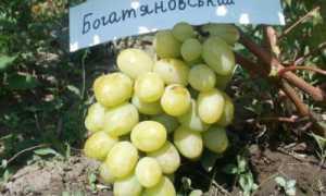 Виноград Богатяновский: описание сорта, фото и отзывы