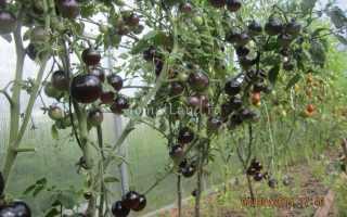 Томат Черная гроздь: описание, отзывы, фото, характеристика