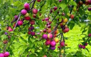 Слива Империал колоновидная: отзывы о выращивании, ботаническая характеристика, достоинства