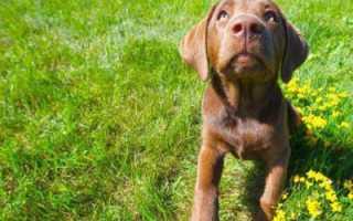 Оса укусила собаку — что делать? Оказание первой помощи