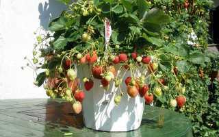 Ампельная ремонтантная клубника: сорта, уход и выращивание, как сажать