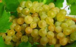 Виноград Кристалл: описание сорта, выращивание уход и отзывы