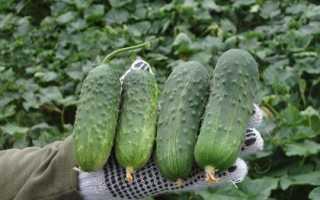 Лучшие сорта огурцов для теплицы из поликарбоната с фото и описанием