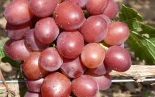 Виноград «Пестрый»: характеристика сорта и технология выращивания