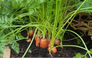 Когда сажать морковь в Сибири