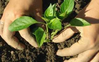 Вырастить рассаду перца в пеленках домашних условиях