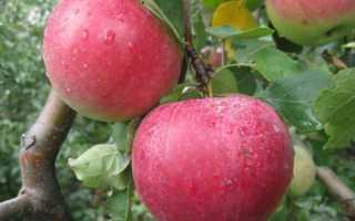 Яблоня рождественское: описание, фото, отзывы, посадка и уход