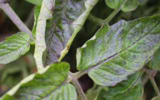 Почему скручиваются листья у помидор в теплице: причины, что делать, фото, видео