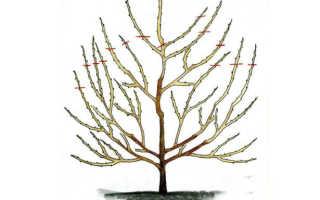 Как правильно обрезать вишню и черешню, В саду ()