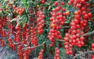 Помидоры — Рапунцель: описание сорта, урожайность, отзывы, фото