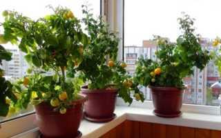 Помидоры на балконе: выращивание пошагово, как вырастить в домашних условиях