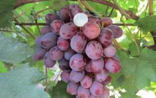 Виноград Граф Монте-Кристо: описание сорта, фото, отзывы