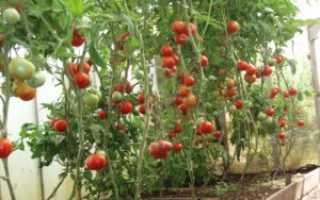 Сорта помидор для подоконника и балкона