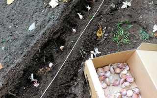 Как и когда сажать озимый чеснок осенью