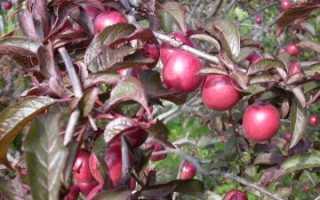Краснолистная слива: особенности, сорта и условия выращивания