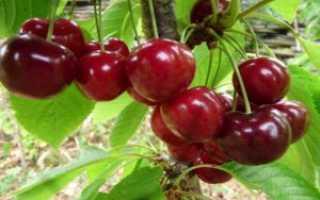 Тарамис вишня: характеристика и описание сорта, выращивание и уход