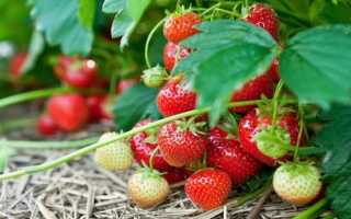 Ремонтантная клубника (земляника): сорта, выращивание и уход